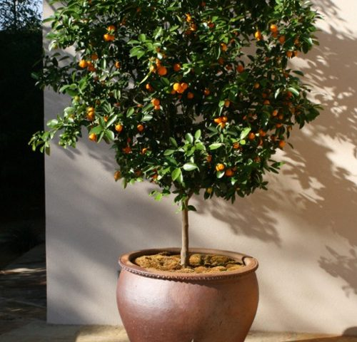 citrus-clementinier-pot-terrasse
